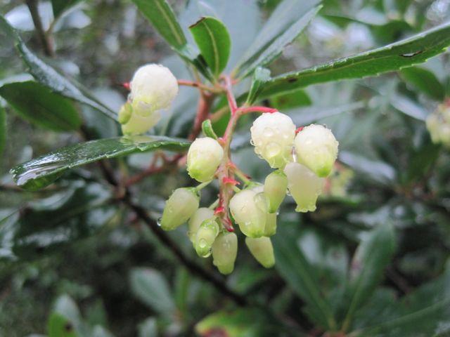 Erdbeerbaumblüten im Regen