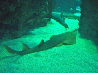 Ozeanographisches Museum Monaco Riffhaie