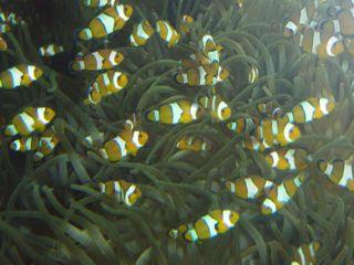 Ozeanographisches Museum Monaco Clownsfische